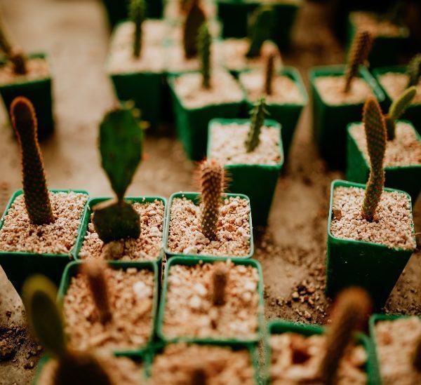 Tohumdan Kaktüs Nasıl Yetiştirilir