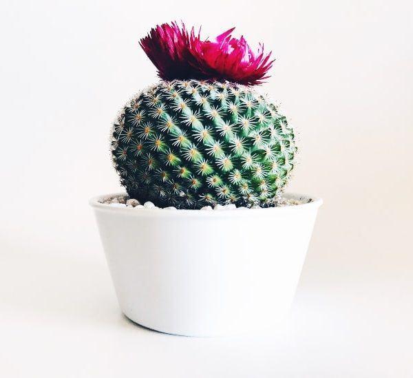 Nihai Kılavuz: Kaktüsünüzü Nasıl Çiçeğe Getirebilirsiniz?
