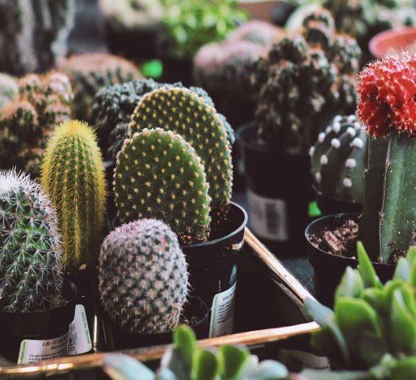 Kaktüs Bakımı: Yeni Başlayanlar İçin 11 Temel İpucu