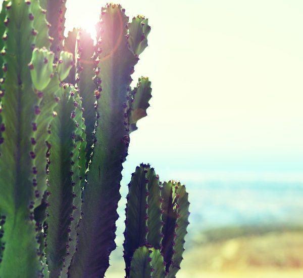 Cactus Çöllerde Hayatta Kalmak İçin Suyu Nerede Depolar?