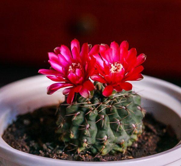 Kaktüs Bitkileri Çiçek Açtıktan Sonra Ölür mü?