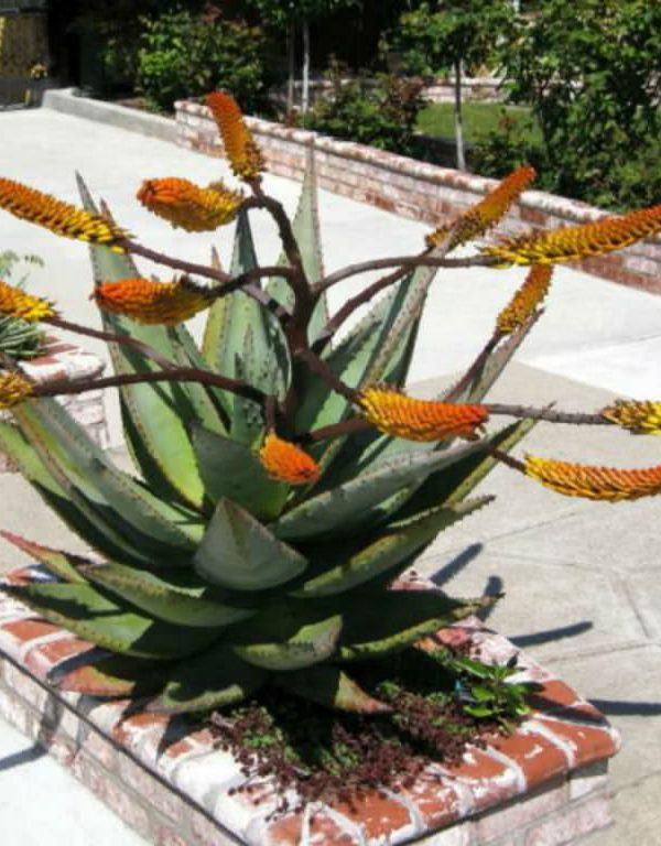 Aloe marlothii (Dağ Aloe)
