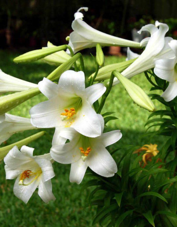 Lilium longiflorum (Paskalya Zambağı)