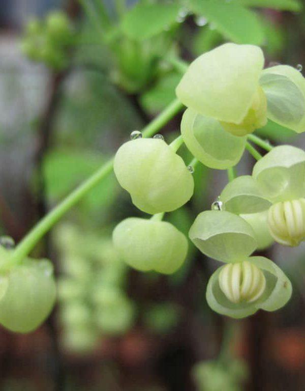 Akebia quinata 'Alba' (Beyaz Akebia)