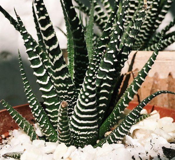 Haworthia Bitkisine Nasıl Bakılır?