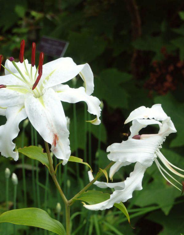 Lily speciosum var. beyaz (Japon Zambağı)