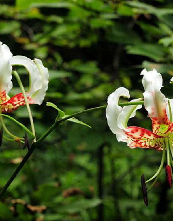 Lily speciosum var. gloriosoides (Gösterişli Zambak)