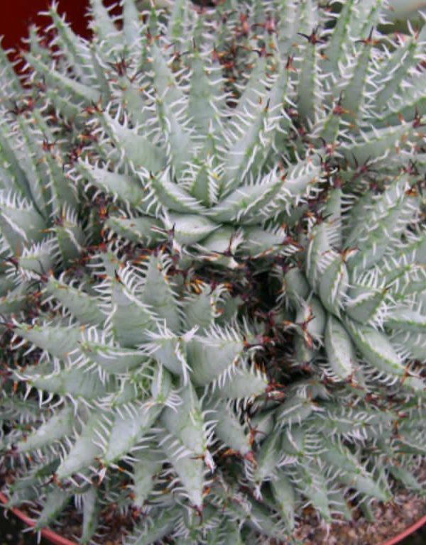 Aloe erinacea Etli