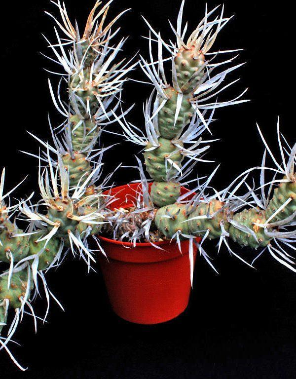 Tephrocactus articulatus var. papyracanthus (Kağıt Omurga Kaktüsü) Sukulent