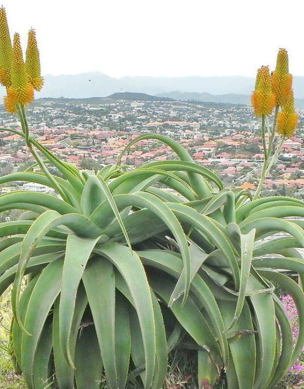 Aloe thraskii (Dune Aloe) Etli