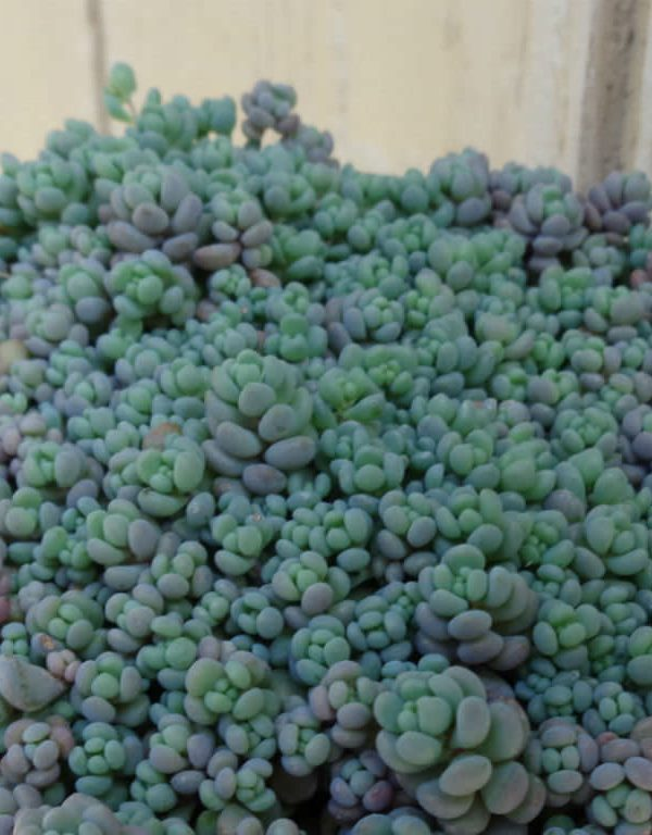 Sedum dasyphyllum 'Küçük' (Korsikalı Stonecrop) Sukulent