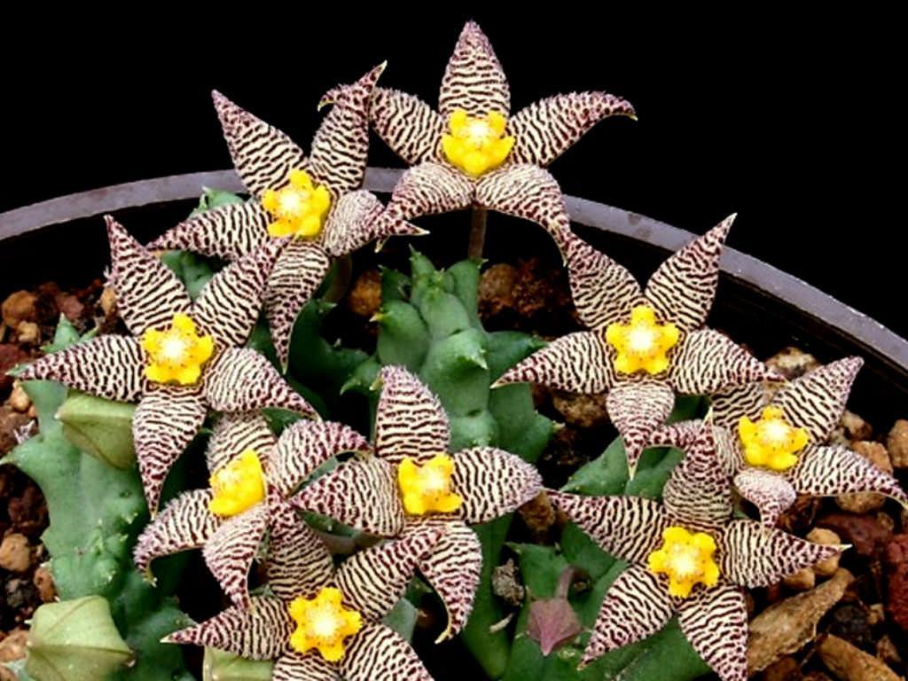 Piaranthus geminatus Sukulent