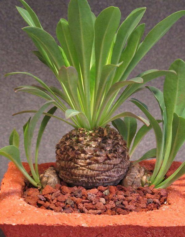Euphorbia bupleurifolia (Çam Kozalağı Bitkisi) Etli