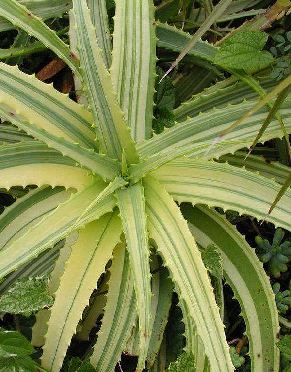Aloe arborescens f. variegata (Alacalı Candelabra Aloe) Etli