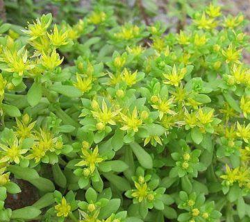 Yeşil doğrusal (iğne Stonecrop) Sukulent