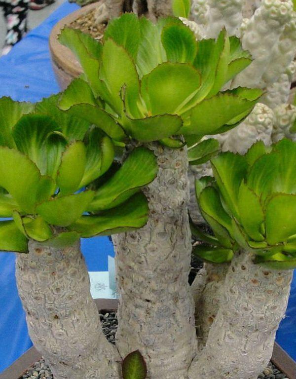Euphorbia unispina (Mum Bitkisi) Sukulent
