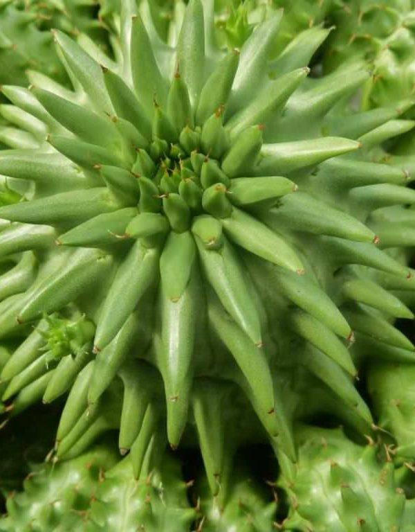 Euphorbia susannae (Suzanne's Spurge) Etli
