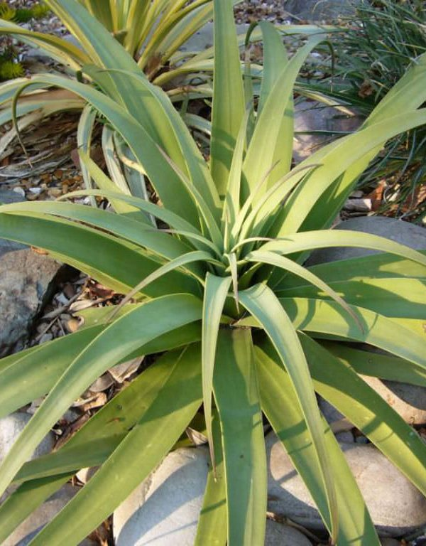 Agave bracteosa (Candelabrum Agave) Sukulent