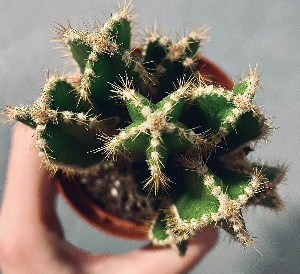 Çürüyen bir kaktüs bitkisi nasıl kurtarılır?