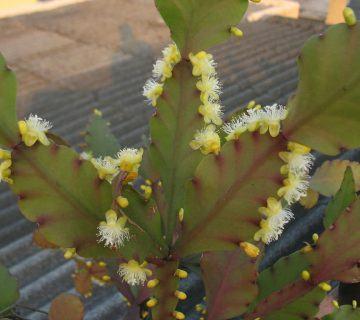 Rhipsalis pachyptera Etli