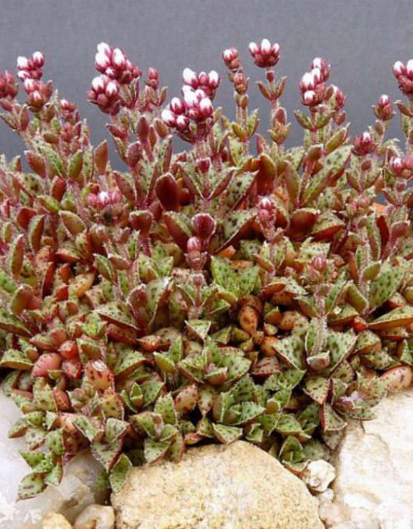 Crassula küçük ssp. Sukulent ile kapak