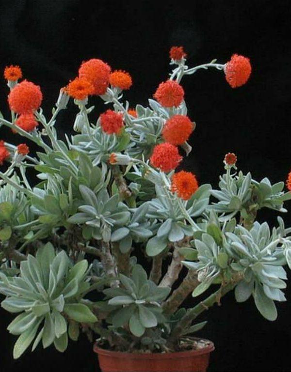 Kleinia galpinii (Senecio galpinii) Etli