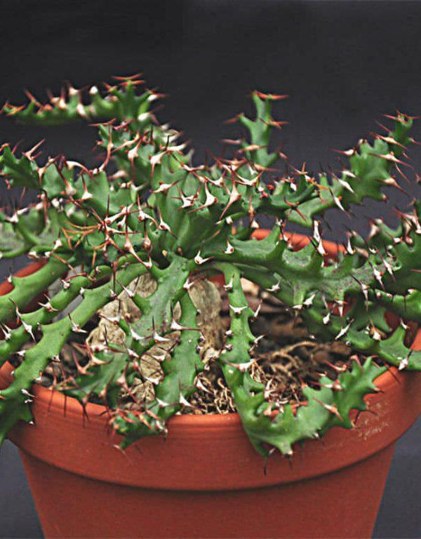 Euphorbia squarrosa Sukulent