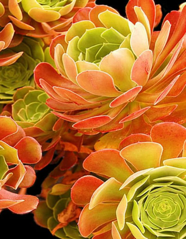 Aeonium 'Blushing Beauty' (Blushing Aeonium) Sukulent
