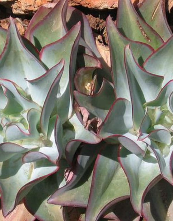 Echeveria subrigida 'Dalgalı' Etli