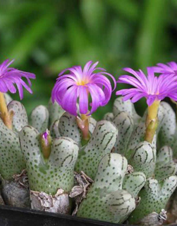 Conophytum turrigerum Sukulent