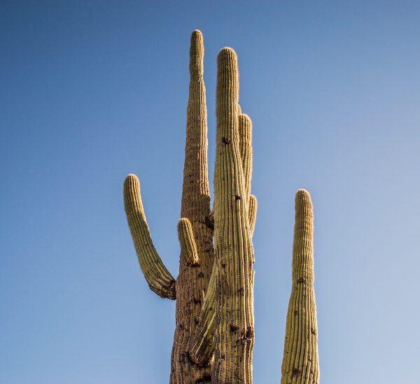 İsimli 15 Uzun Boylu Kaktüs Bitkisi