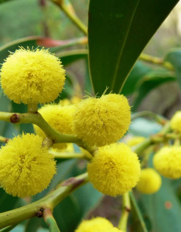 Akasya pycnantha (Altın Wattle)