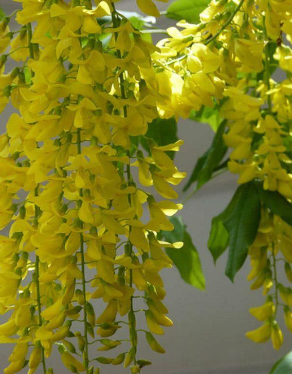 Laburnum x watereri (Altın Zincir Ağacı)