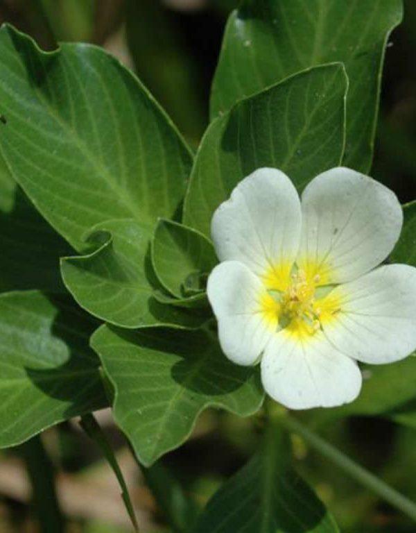 Ludwigia adscendens (Su Çuha çiçeği)
