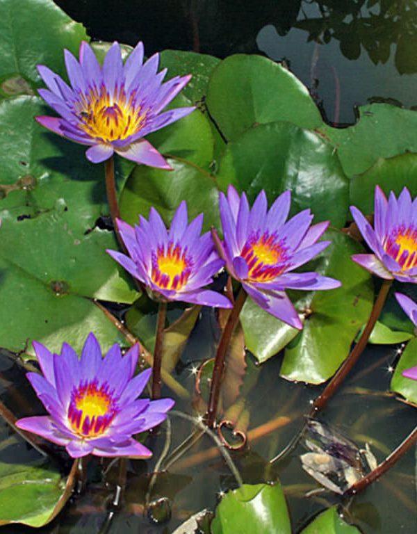 Nymphaea nouchali var. caerulea (Mavi Mısır Lotus)