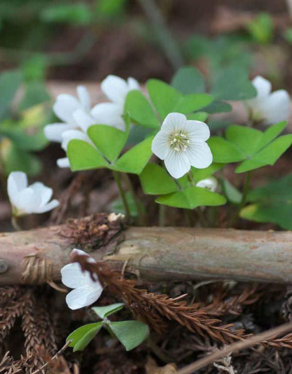 Oxalis griffithii
