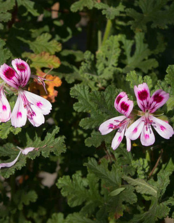 Pelargonium quercifolium (Meşe yapraklı Sardunya)
