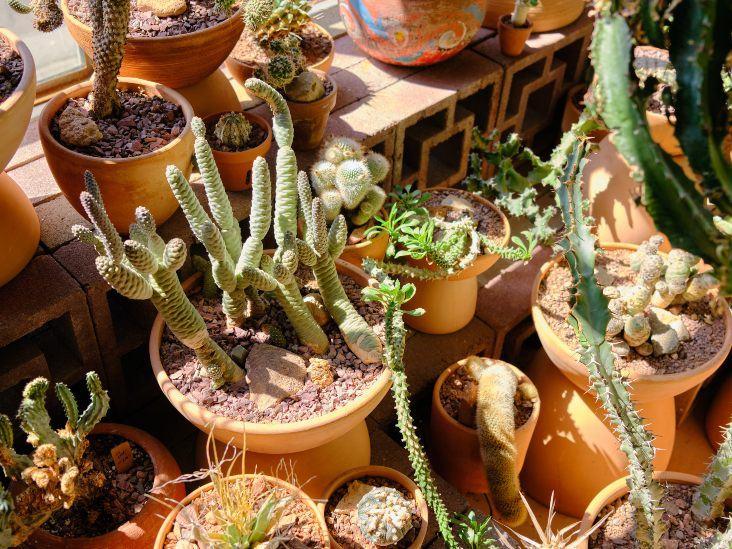 Farklı Kaktüs Bitkileri Nasıl Belirlenir